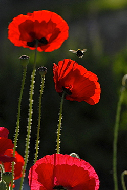 Red poppies and flying bumble bee in the garden, Germany, Europe