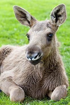 Young elk on a meadow, elkfarm Aelgens Hus, Bjurholm, Vaesterbotten, Sweden, Europe