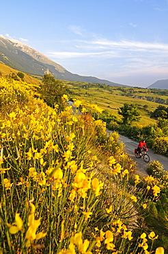 Cyclist between yellow flowers and Monte Amaro, Caramanico Terme, San Eufemia a Maiella, Maiella National Park, Abruzzi, Italy, Europe
