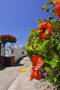 Red hibiscus flower growing in an alley in El Pris, Tacoronte, Tenerife, Canary Islands, Spain