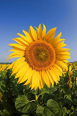 Sunflowers, Helianthus annuus, Munich, Bavaria, Germany