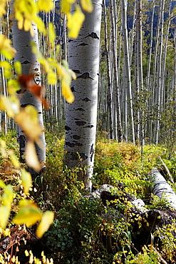 Aspen trees in Aspen, Colorado, USA, North America, America