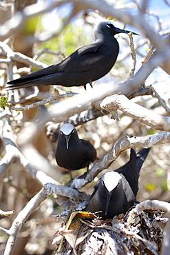 Black Noddy Terns western Heron Island, Great Barrier Reef Marine Park, UNESCO World Heritage Site, Queensland, Australia