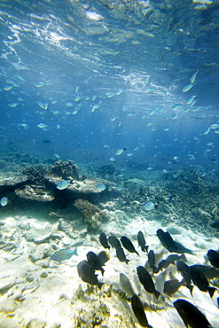Shoal of blue reef fish, Wilson Island, part of the Capricornia Cays National Park, Great Barrier Reef Marine Park, UNESCO World Heritage Site, Queensland, Australia