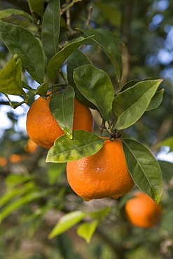 Oranges on Tree, La Reserva Rotana Finca Hotel Rural, near Manacor, Mallorca, Balearic Islands, Spain