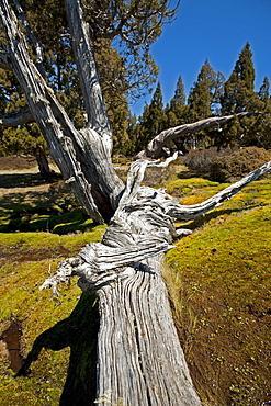 Pencil Pine forest in Dixons Kingdom, Walls of Jerusalem National Park, UNESCO World Nature Site, Tasmania, Australia