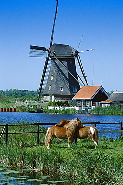 Horses on a meadow, windmill in the background, Kinderdijk, Netherlands