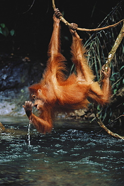 Young Orang-Utan drinking out of Bohorok River, Gunung Leuser National Park, Sumatra, Indonesia, Asia
