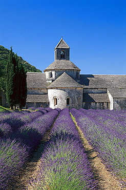 Abbaye de Senanque and lavender field under blue sky, Vaucluse, Provence, France, Europe