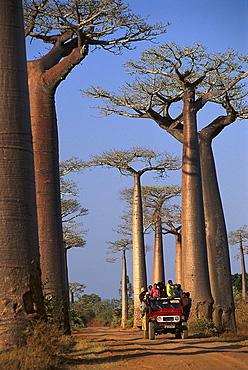 Baobab trees near Morondava, Madagascar