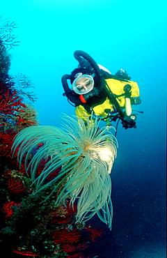 Roehrenwurm und Taucher, Fan worm and scuba diver, Spirographis spallanzani