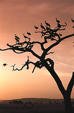 White Storks sitting on a tree in the evening light, East Africa