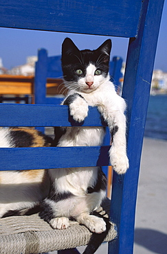 Domestic cat sitting on a blue chair, Pet, Domestic Animal, Animal