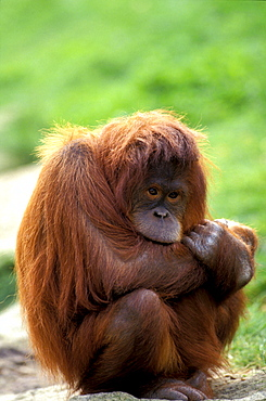 Orangutan, Pongo Pygmaeus, Gunung Leuser National Park, Sumatra, Indonesia, Asia