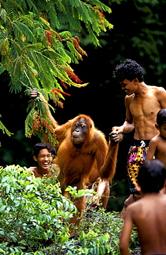 Orang-Utan in Orangutan rehabilitation center, Borneo, Gunung Leuser National Park, Sumatra, Indonesia, Asia