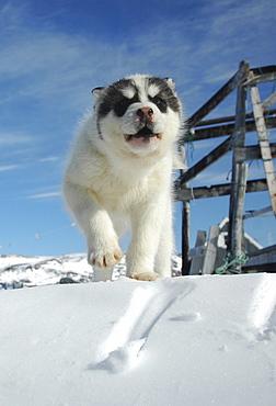 Sledge dog puppy, Ilulissat, Greenland