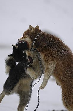 Dogfight, Ilulissat, Greenland