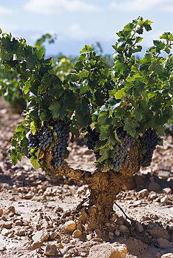 Old vineyard, Tempranillo Grapes, Navarra, Spain