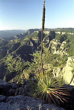 Agave and view over the Copper Canyon, Divisadero, Chihuahua, Mexico, America
