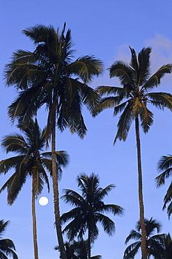 Coconut Trees and Full Moon, Rarotonga, Cook Islands