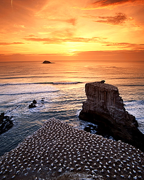 new zealand gannet colony at muriwai beach, gannet fly from Muriwai to australia and come back