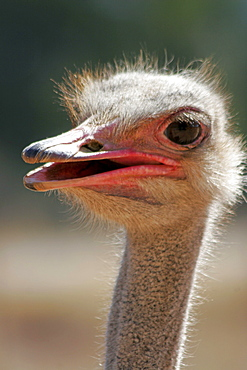Ostrich, Oudtshorn, South Africa