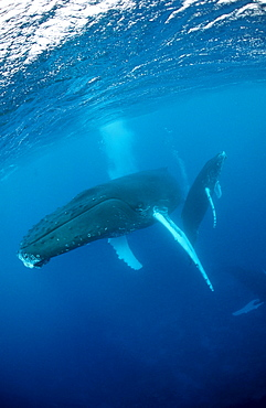 Humpback whale, mother and calf, Megaptera novaeangliae, Tahiti, French Polynesia, Rurutu, Pacific Ocean
