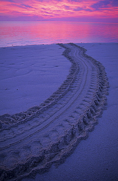 Tracks of a sea turtle which has returned to the ocean after laying her eggs, Heron Island, Great Barrier Reef, Australia