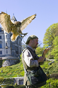 A Bengal Eagle Owl at Dunrobin Castle landing on the head of a man, Falconer, Scotland, Great Britain
