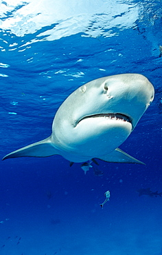 Lemon Shark, Negaprion brevirostris, Bahamas, Grand Bahama Island, Atlantic Ocean