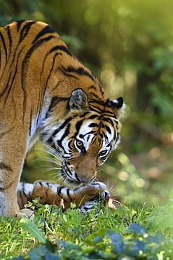 Siberian Tigers, mother and cub, Panthera tigris altaica, captive