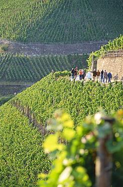 Vineyard Dernauer Pfarrwingert, Dernau, Rhineland-Palatinate, Germany