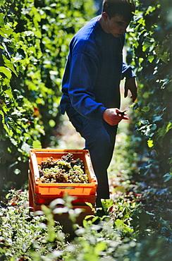 Grape harvest, Bacharach, Rhineland-Palatinate, Germany
