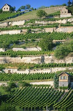 Vineyard Edelacker, Freyburg, Saxony-Anhalt, Germany