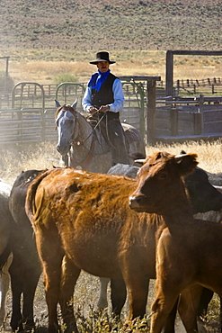 cowboy with cattle, Oregon, USA