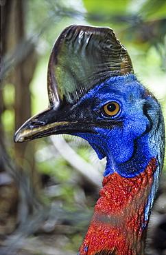 Portrait of a Cassowary Bird, Papua New Guinea, Oceania