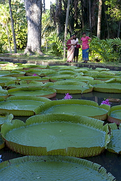 Indian Women at Giant Amazon Waterlily Pond, (Victoria amazonica), Sir Seewoosagur Ramgoolam Botanic Garden, Pamplemousses, Pamplemousses District, Mauritius
