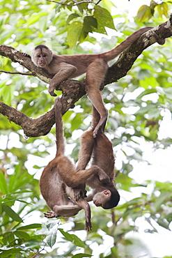 Capuchin monkeys at Misahualli, Rio Napo, Amazonas, Ecuador, South America
