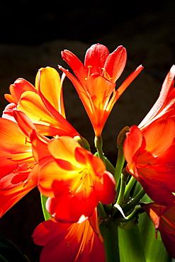 Orange flowers, Gran Canaria, Canary Islands, Spain