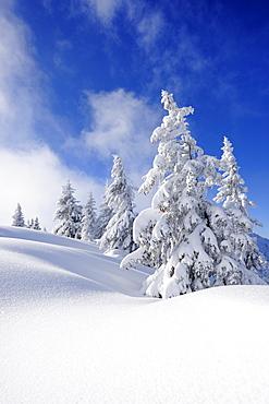 Snow covered fir trees, Schildenstein, Tegernseer range, Bavarian Prealps, Upper Bavaria, Bavaria, Germany