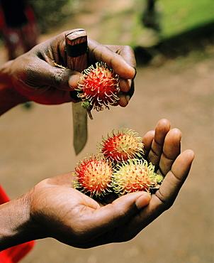Guide holding lipstick fruits in his hand during a Spice Tour on Hakuna Matata Spice Farm, Dole village near Kidichi, north east of Zanzibar Town, Zanzibar, Tanzania, East Africa