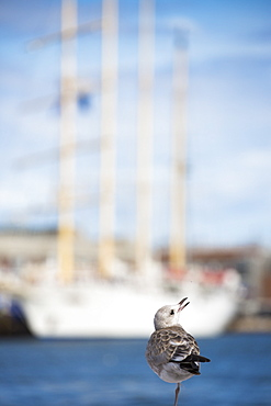 One-legged seagull and sailing cruise ship Star Flyer, Helsinki, Southern Finland, Finland, Europe