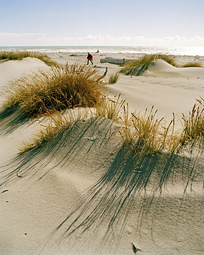 View at marram grass on a beach in the sunlight, Westland National Park, west coast, South Island, New Zealand