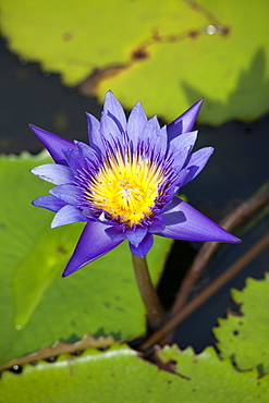 Water lily in Kampot province, Cambodia, Asia