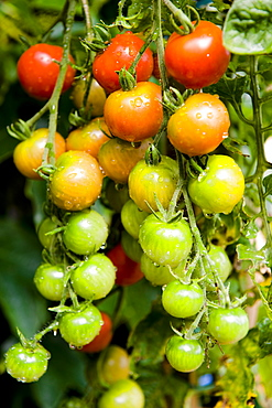 Red and green tomatoes on the vine, Garden