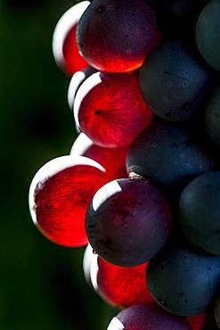 winecrapes at the Lago di Garda, Province of Verona, Northern Italy, Italy