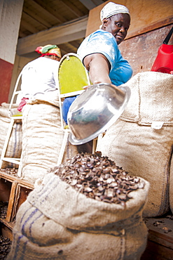 Women peeling nutmegs, Nutmeg plantation, Caribbean