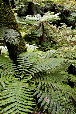 Tree ferns in the rainforest of Te Urewera National Park, North Island, New Zealand