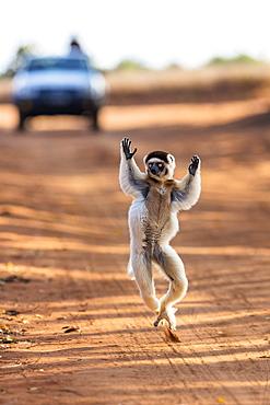 Verreaux Sifaka dancing across the road, Propithecus verreauxi, Berenty Reserve, Madagascar, Africa