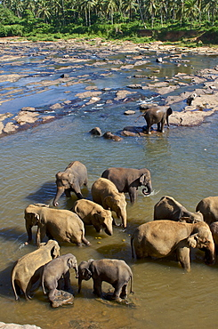 Elephants bathing in the river at Pinawela Elephant Orphanage, 40km to the West of Kandy, Sri Lanka, South Asia